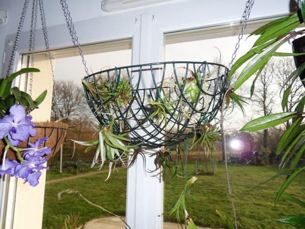 Installations de Tillandsias (màj printemps 2013) 15_01_12_28429_petit