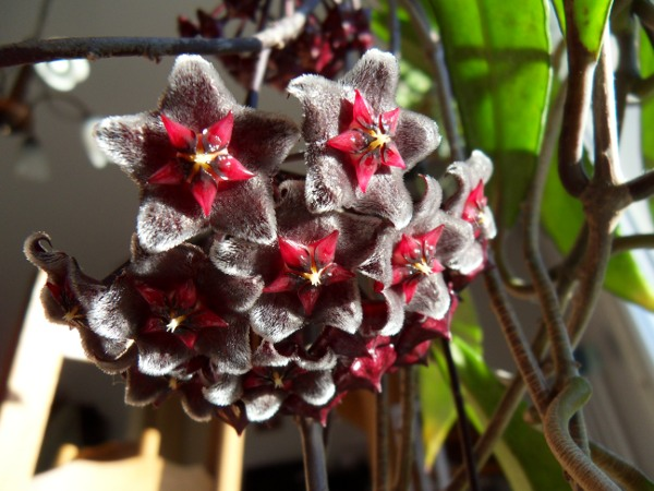 Hoya pubicalyx 'Red Button' - Page 2 H__pubicalyx_20_03_13_ombelle_petit
